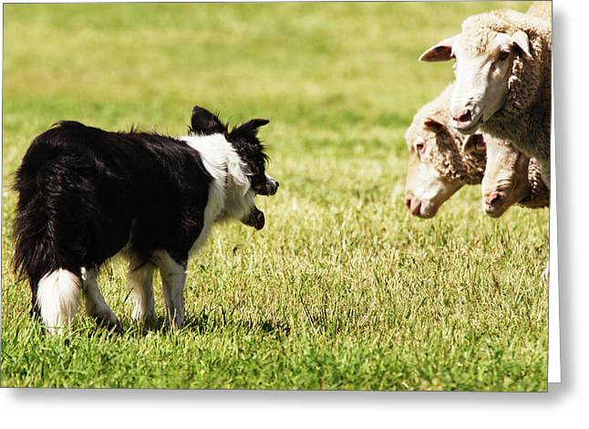 Border Collie Staring At Three Sheep Greeting Card