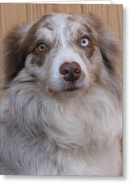 Border Collie With Blue-eyed Greeting Card