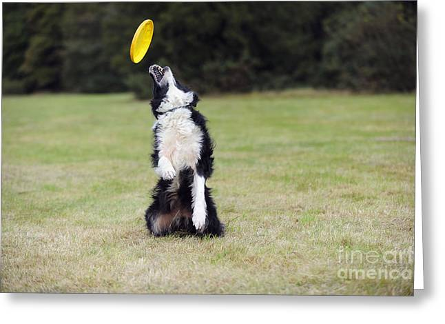 Border Collie With Frisbee Greeting Card
