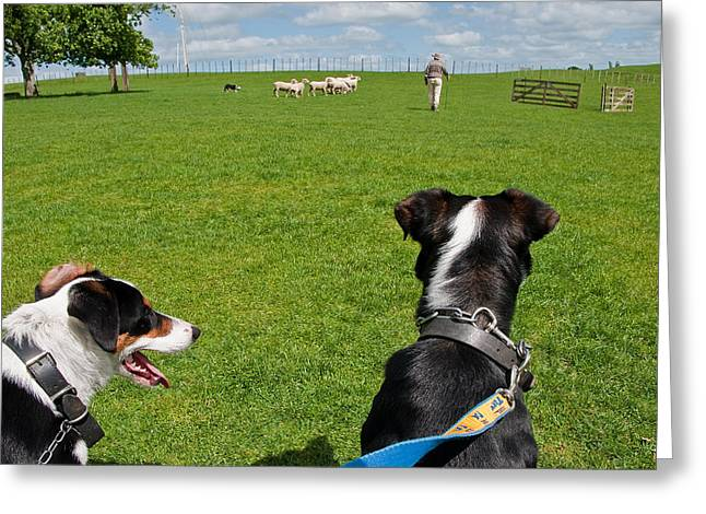 Greeting Card featuring the photograph Border Collies by Dennis Cox WorldViews