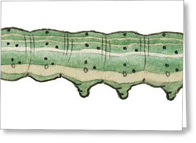 Bordered Sallow Caterpillar Greeting Card
