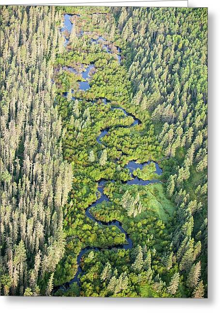 Boreal Forest Greeting Card by Ashley Cooper