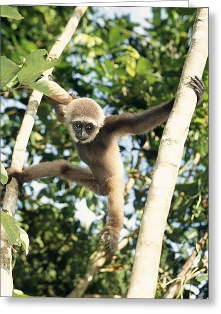 Bornean Gibbon Greeting Card by M. Watson