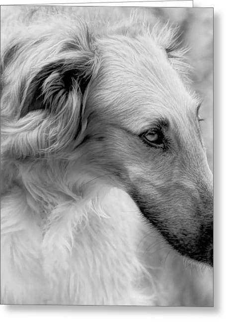 Greeting Card featuring the photograph Borzoi Head Study by Charles Dana