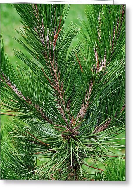 Bosnian Pine (pinus Heldreichii) Greeting Card by Dr. Nick Kurzenko