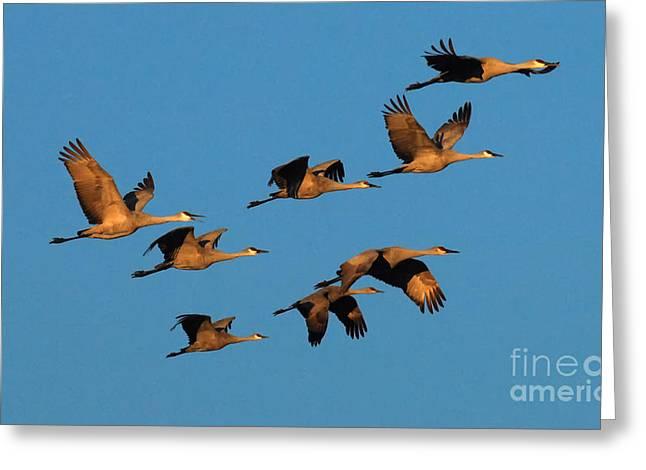 Bosque Del Apache Cranes In Flight Greeting Card by Bob Christopher