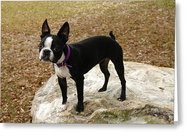 Boston Terrier On The Rock Greeting Card by Donald Williams