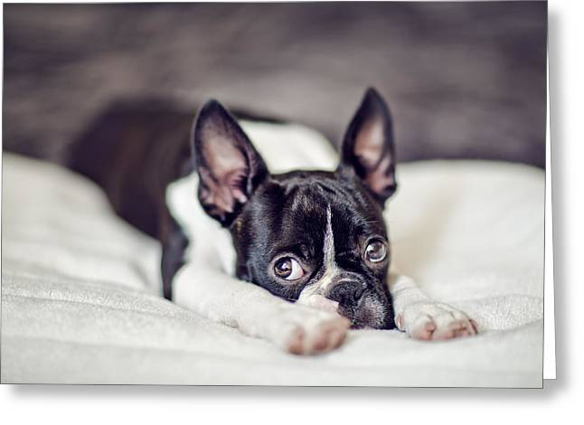 Boston Terrier Puppy Greeting Card by Nailia Schwarz