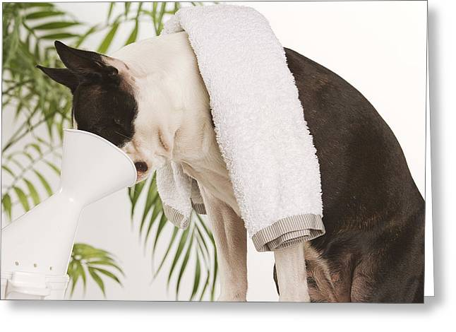 Boston Terrier Steam Therapy Greeting Card by Jean-Michel Labat