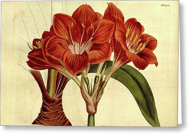 Botanical Print By Sydenham Teast Edwards 1768 – 1819 Greeting Card by Quint Lox