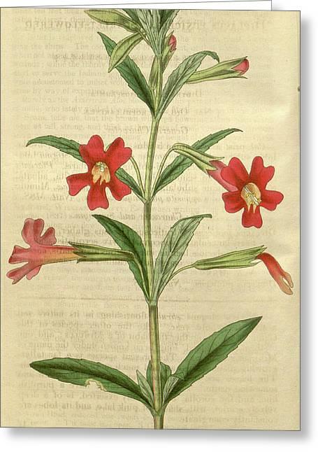 Botanical Print By Thomas Nuttall, 1786 – 1859 Greeting Card