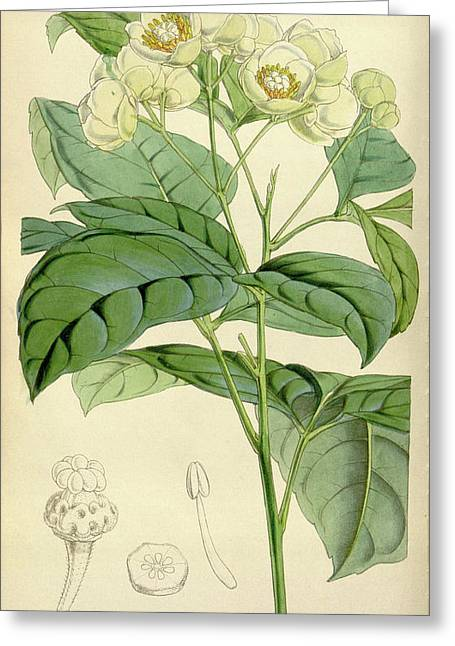 Botanical Print By Walter Hood Fitch 1817 – 1892 Greeting Card by Quint Lox