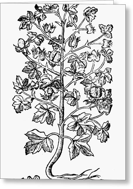 Botany Cotton Plant, 1579 Greeting Card by Granger
