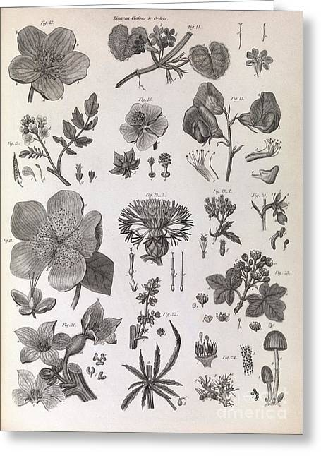 Botany Illustrations, 1823 Greeting Card by Middle Temple Library