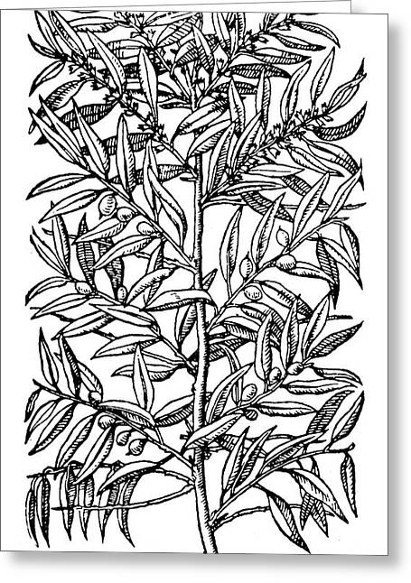 Botany Olive Tree, 1579 Greeting Card by Granger