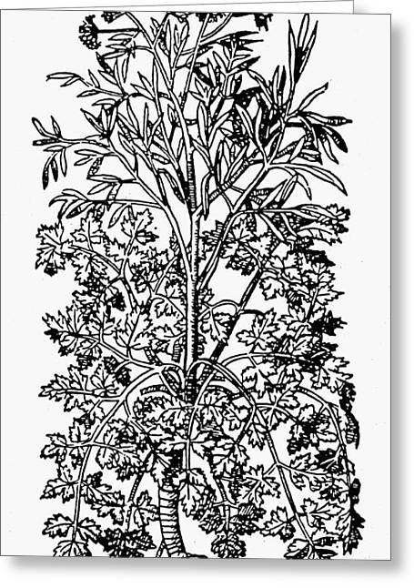 Botany Parsley, 1579 Greeting Card by Granger