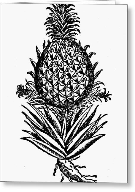 Botany Pineapple, 1586 Greeting Card
