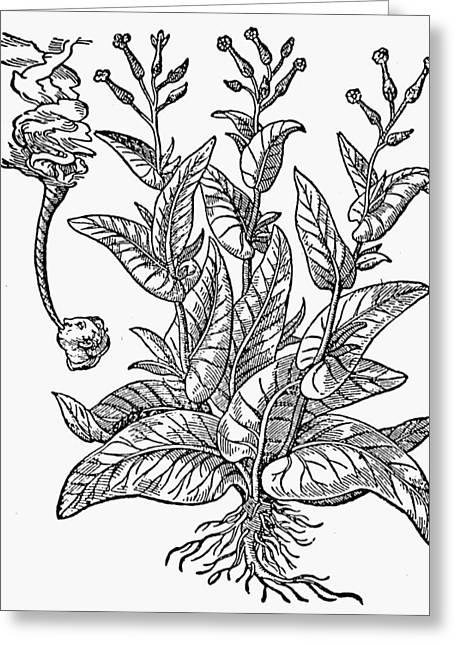 Botany Tobacco, 1576 Greeting Card