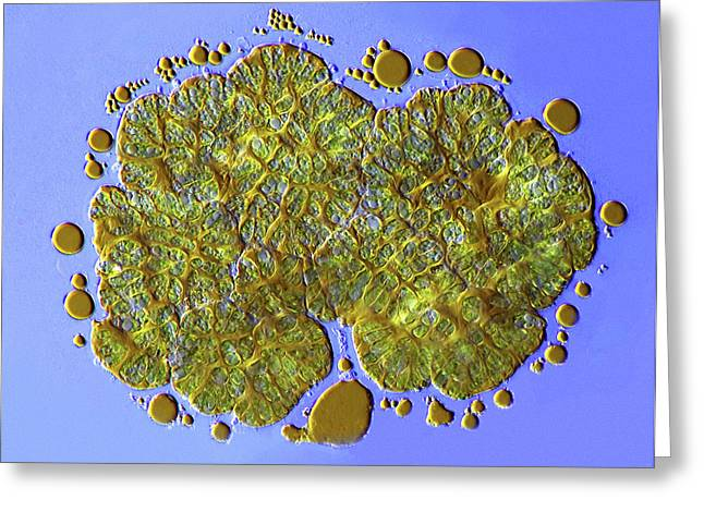 Botryococcus Green Algae Greeting Card