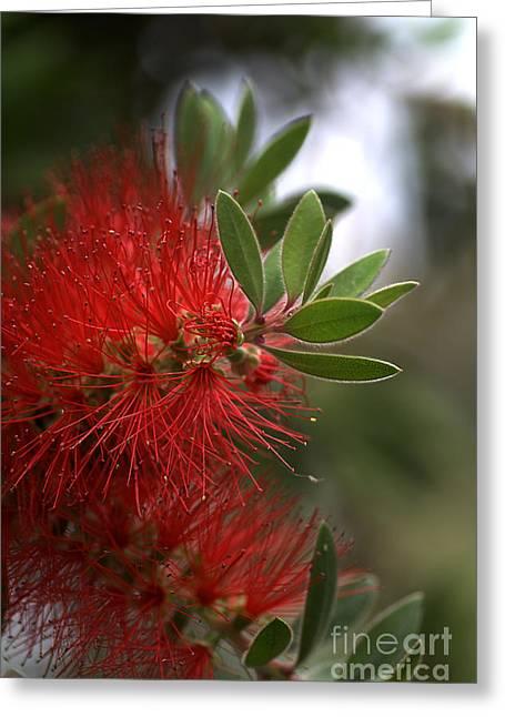 Bottlebrush In Red Greeting Card by Joy Watson
