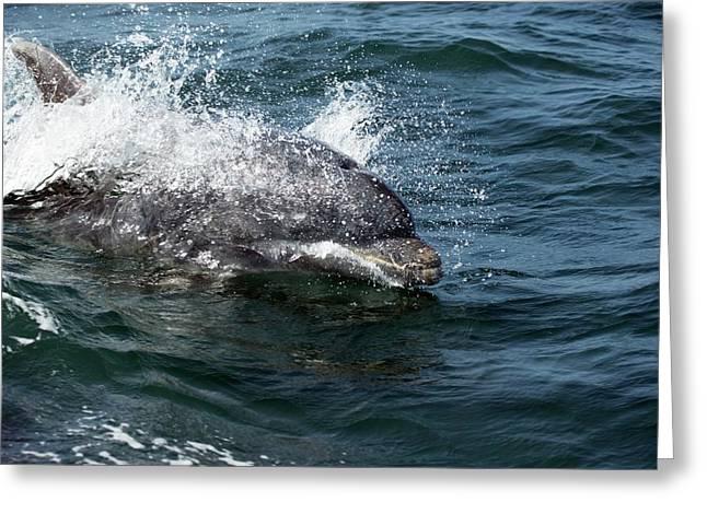 Bottlenose Dolphin Greeting Card