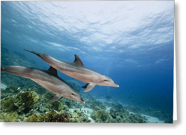 Bottlenose Dolphins Swimming Over Reef Greeting Card
