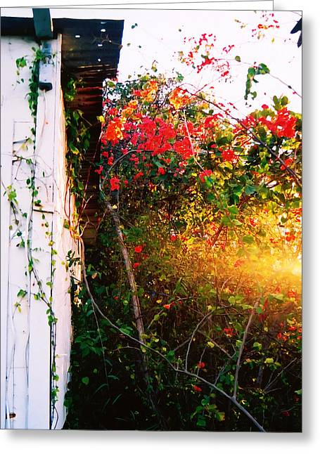 Bougainvilla  Greeting Card