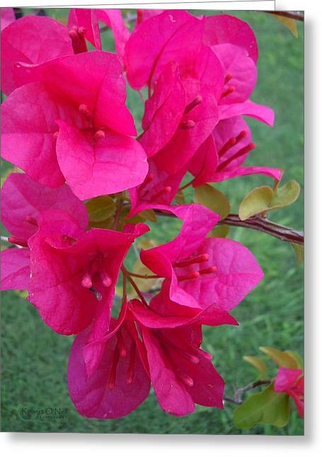 Bougainvillea Dream #2 Greeting Card by Robert ONeil