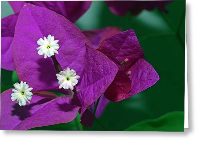 Bougainvillea Flower Greeting Card by Dirk Wiersma