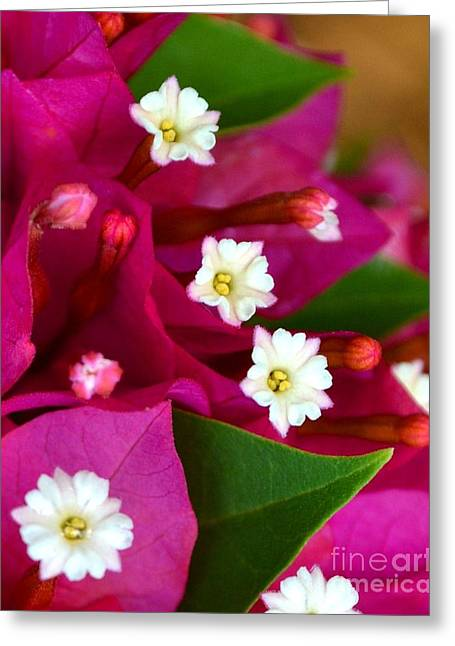 Greeting Card featuring the photograph Bougainvillea- Fuschia by Darla Wood
