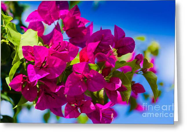 Bougainvillea Greeting Card by Mary Ann Tardif