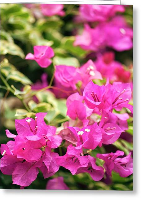 Bougainvillea Spectabilis Flowers Greeting Card by Maria Mosolova