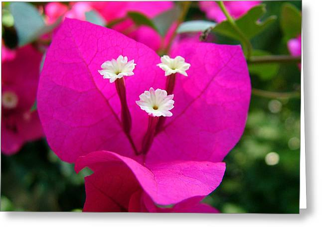 Bougainvillea Greeting Card by Zachary Cox