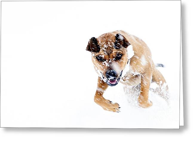 Bounding In Snow Greeting Card by Thomas R Fletcher
