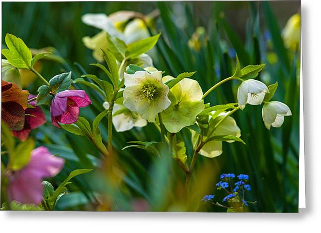 Greeting Card featuring the photograph Bouquet Of Lenten Roses by Jordan Blackstone