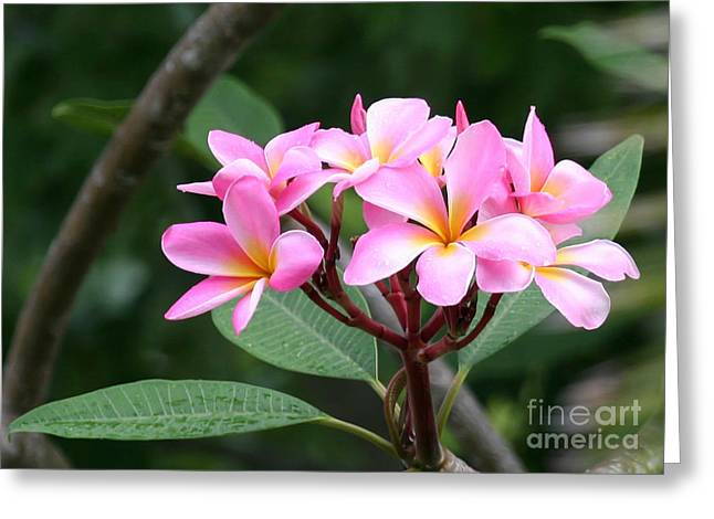 Bouquet Of Pink Plumeria Greeting Card