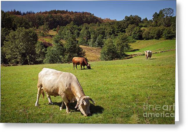 Bovine Cattle  Greeting Card by Carlos Caetano