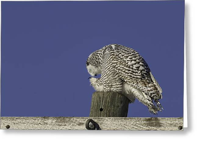 Bowing Snowy Owl Greeting Card by Thomas Young