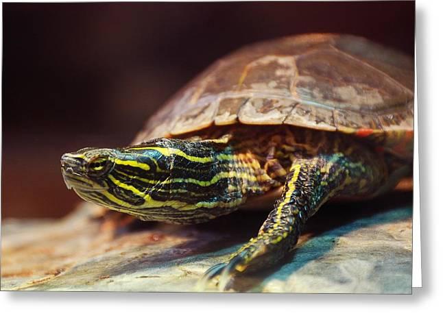 Box Turtle Greeting Card by Jim Hughes