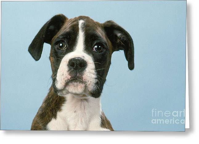 Boxer Dog, Close-up Of Head Greeting Card by John Daniels
