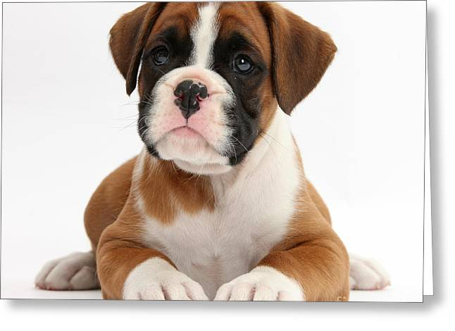 Boxer Puppy Greeting Card by Mark Taylor