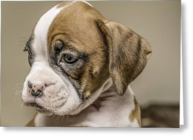 Boxer Puppy Greeting Card by Tony Moran