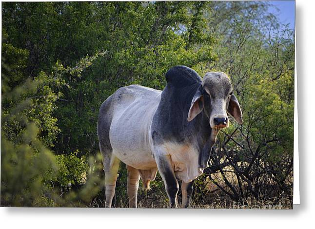 Brahma Cow Greeting Card