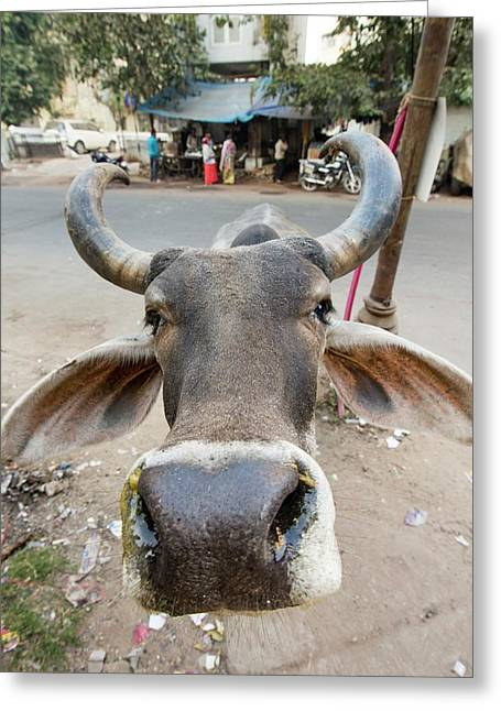 Brahman Cow In Ahmedabad Greeting Card by Ashley Cooper