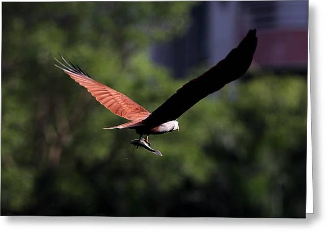 Brahminy Kite With Catch  Greeting Card by Ramabhadran Thirupattur