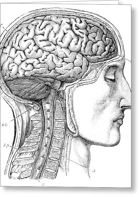 Brain From Right Side, 1883 Greeting Card by British Library