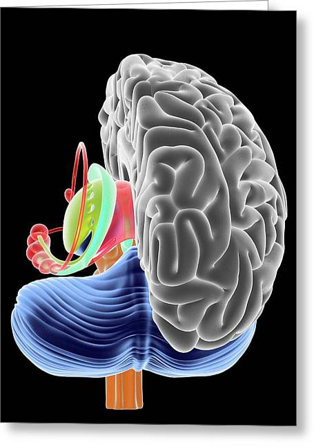 Brain Section Greeting Card by Alfred Pasieka