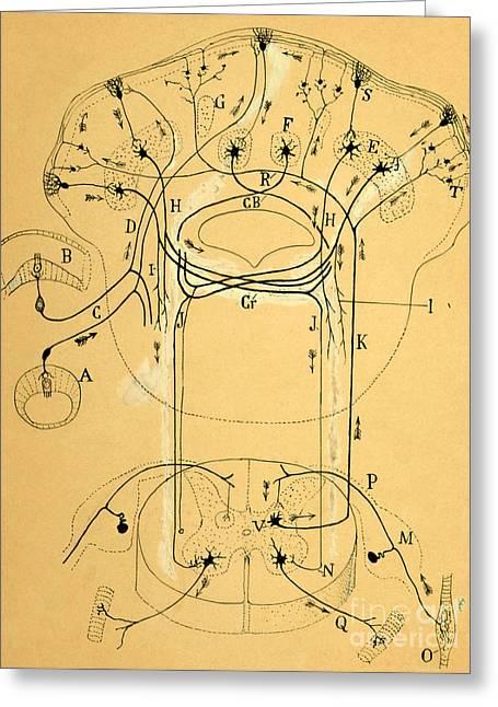 Brain Vestibular Sensor Connections By Cajal 1899 Greeting Card