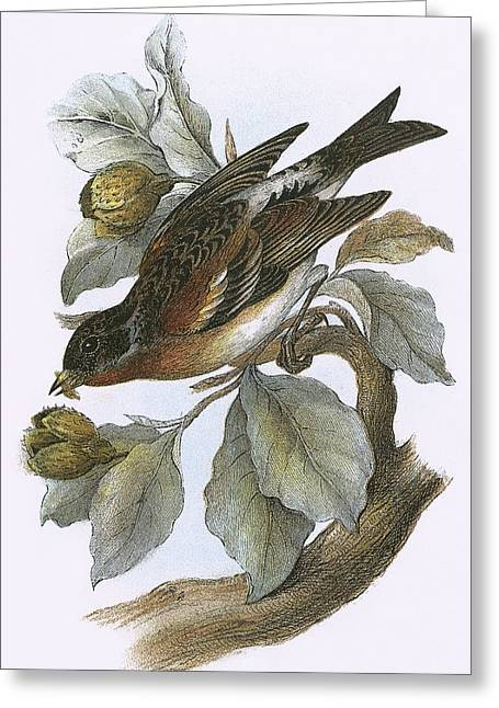 Brambling Greeting Card by English School
