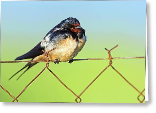 Bran Swallow On A Fence Greeting Card